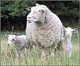 Polypay Wool